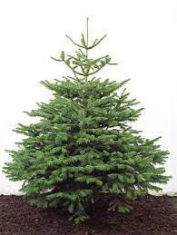 Nordmann Fir Tree (Non Drop)